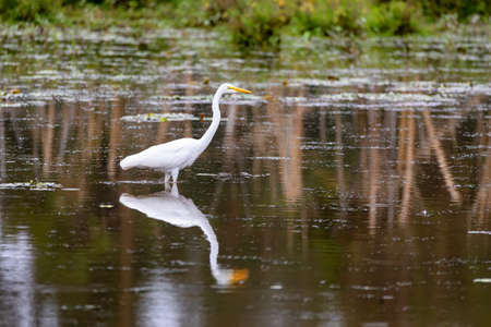 hunting bird Great white egret in small pond, Ardea alba, with reflection in water, Ethiopia wildlife Reklamní fotografie