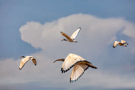 flying flock of African Sacred Ibis, Threskiornis aethiopicus. Common bird throughout the African continent. Ethiopia safari wildlife