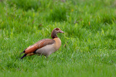 big bird Egyptian Goose in natural habitat. Alopochen aegyptiaca is a member of the duck, goose, and swan family Anatidae. It is native to Africa south of the Sahara. Ethiopia wildlife