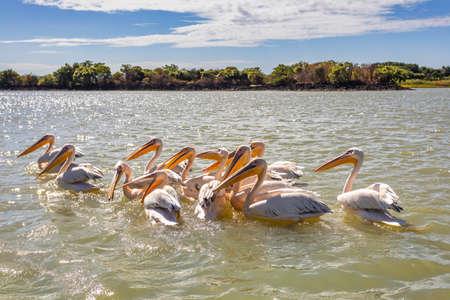 flock of birds Great White Pelicans swim on Lake Tana, Bahir Dar, Ethiopia, Africa wildlife