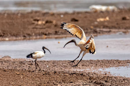 The African Sacred Ibis on pond. Threskiornis aethiopicus. Common bird throughout the African continent. Ethiopia safari wildlife Reklamní fotografie