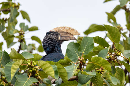 Big bird, Silvery-cheeked Hornbill, Bycanistes brevis, sits and feeding berries on tree, Ethiopia, Africa Wildlife Reklamní fotografie