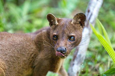 madagascar predator, Fossa ,Cryptoprocta ferox, cat-like, carnivorous mammal endemic to Madagascar, Fossa eating lemurs. Andasibe, Vakona Private Reserve. Madagascar wildlife.