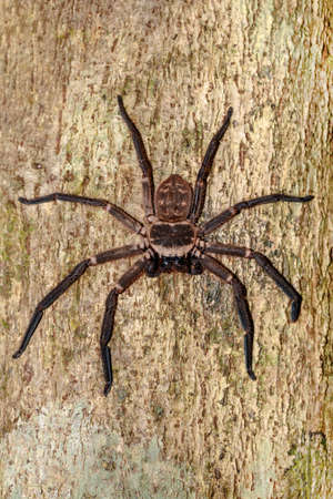 giant spider huntsman on tree trunk. Huntsman spider is members of the family Sparassidae formerly Heteropodidae. Masoala National park, Toamasina province, Madagascar wildlife and wilderness