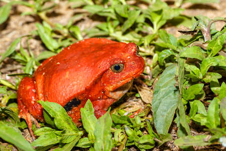 Big red Tomato frog, species of genus Dyscophus, Dyscophus antongilii. It can be found in Maroantsetra city ditch. When threatened, a tomato frog puffs up its body. Madagascar wildlife