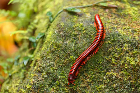 Rainforest millipede. Madagascan Fire Millipede, pres. Aphistogoniulus Corallipes in Masoala National Park in Madagascar wildlife and wilderness