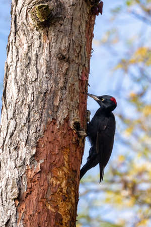 bird Black Woodpecker, Dryocopus martius sitting on the tree trunk next to the hole. Czech Republic, Europe wildlife Reklamní fotografie