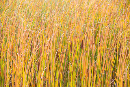 Fall orange reeds moving wind background. Brushwood of cane blowing in the wind. Wild grass next to water. Tuft of grass. Banque d'images