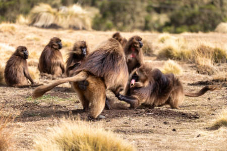 big males of endemic animal Gelada monkey fighting for female with with opened mouth showing teeth. Theropithecus gelada, Simien Mountains, Africa Ethiopia wildlife