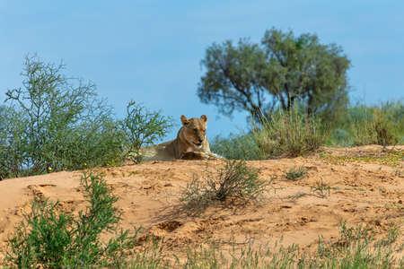 Female Lion Lying and resting in desert, natural habitat. Kalahari Transfrontier Park, South Africa, wildlife and wilderness