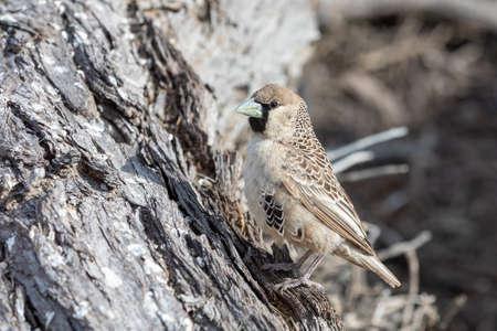 Pájaro tejedor sociable en Kalahari Transfontier Park, Sudáfrica
