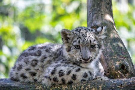 cute playful baby kitten of cat Snow Leopard, Irbis, Uncia Unca, eautiful wild cat