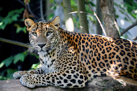 Sri Lanka, Ceylon Leopard, Panthera pardus kotiya on tree. Leopard is listed as Endangered on the IUCN Red List. Wild cat