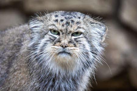 retrato de gato hermoso, gato Pallass, Otocolobus manul. Gato montés de distribución amplia pero fragmentada en pastizales y estepas montanas. Asia central, vida silvestre