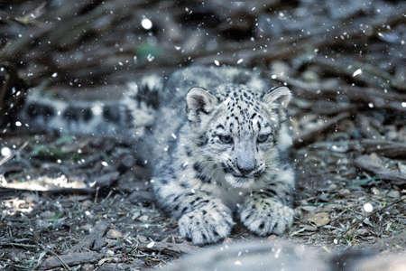 cute playful baby kitten of cat Snow Leopard, Irbis, Uncia Unca, Winter snow, beautiful wild cat