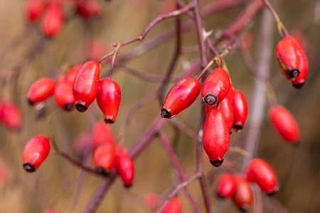 Briar, wild rose hip shrub in nature, autumn concept with fall color tone Stok Fotoğraf