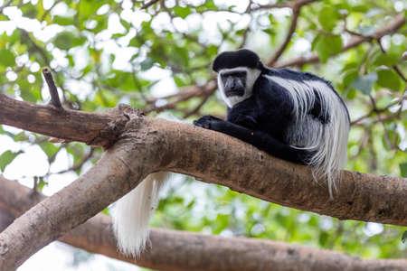 beautiful monkey Colobus guereza, in natural habitat near Lake Awassa, Ethiopia, Africa wildlife