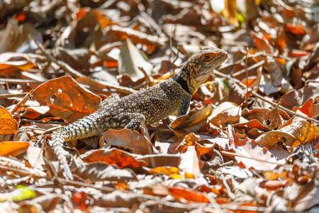 common madagascar collared iguana, Oplurus cuvieri, Madagascan collared iguana lizzard. Ankarafantsika National Park, Madagascar Africa wildlife and wilderness