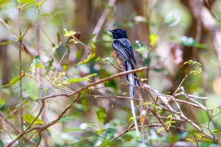 Beautiful Madagascar bird, Paradise-flycatcher black version, Terpsiphone mutata. Ankarafantsika National Park, Madagascar wildlife and wilderness