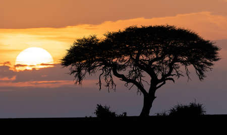 Traditional orange african sunset over acacia tree, nature scene