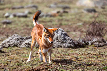 hunting very rare endemic ethiopian wolf, Canis simensis, Sanetti Plateau in Bale mountains, Africa Ethiopian wildlife. Only about 440 wolfs survived in Ethiopia