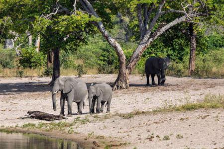 herd of African elephant Loxodonta on waterhole in game reserve Bwabwata, Caprivi strip, North Namibia, Africa safari wildlife and wilderness