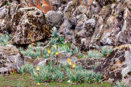 Mountain yellow flower Kniphofia foliosa. Bale National Park, Ethiopia, africa wilderness Stock fotó