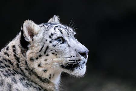 l'un des plus beaux grands félins, léopard des neiges - Irbis, Uncia uncia Banque d'images