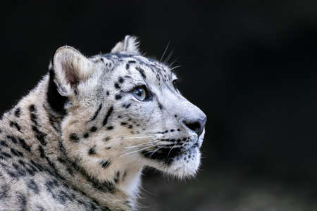 one of most beautiful big cat, snow leopard - Irbis, Uncia uncia Archivio Fotografico