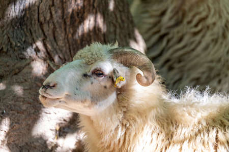 ram or rammer, male of sheep with horns in rural farm 免版税图像