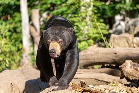 Sun bear, known as a Malaysian bearm, Helarctos malayanus, in sunny day