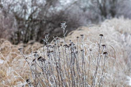 Im Winter bei starkem Frost pflanzen. Hintergrund der natürlichen Szene.