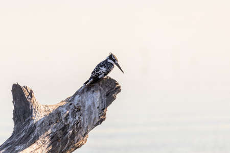 Pied Kingfisher - Ceryle rudis. Black and white bird sitting in the branch with tree bokeh in the background, Chobe National Park, Botswana. Africa wildlife