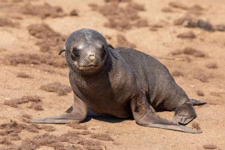alone baby of brown fur seal in Cape Cross, Namibia safari wildlife