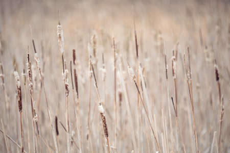 reeds background. Brushwood of cane with shallow focus. Wild grass next to water. Tuft of grass. Banque d'images