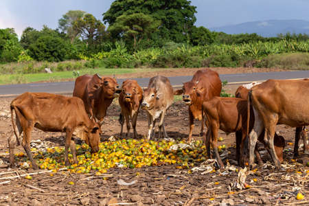Ubiquitous Ethiopian cattle eats mango at the dump. Southern Nations region, city Arba minch. Brahman Or Zebu Bulls with long horns. Ethiopia Stock Photo