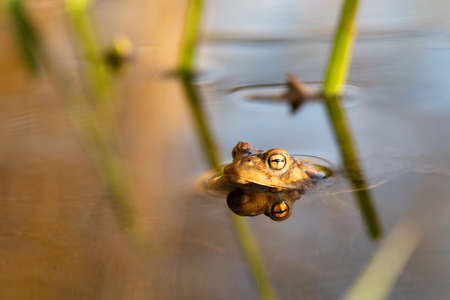Common toad or European-toad, Bufo bufo in natural environment, floating on spring pond, showing his orange eyes - Czech Republic, Europe wildlife Stock Photo