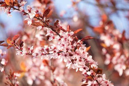 开花的樱花细节,属prunus属的开花的树。樱花开花的树在春天