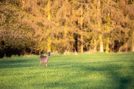 male of European roe deer (Capreolus capreolus), graze on a green meadow behind woodland attacked by bark beatle. Czech Republic Europe wildlife