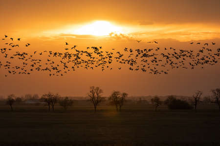 flying big flock Greylag goose (Anser anser) over sunset landscape, bird migration in the Hortobagy National Park, Hungary, puszta is famouf ecosystems in Europe and Site
