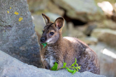 cute and beautiful Red-necked Wallaby, australian animal kangaroo (Macropus rufogriseus) Banque d'images