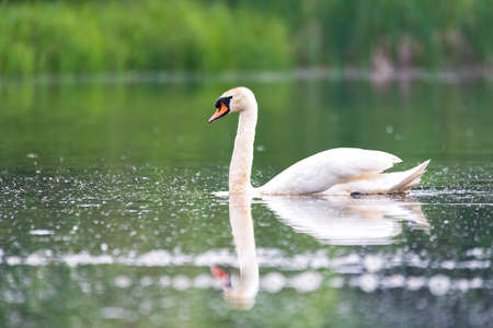Wild bird mute swan (Cygnus olor) swim in spring on pond with reflection, Czech Republic Europe wildlife Standard-Bild