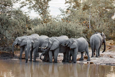 herd of African Elephant on waterhole in Moremi game reserve Botswana, Africa safari wildlife