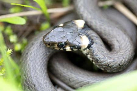 Closeup of small grass snake in natural habitat in defend pose, Natrix natrix, european wildlife, Czech Republic