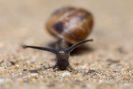 Close up Macro of small garden snail, Helix aspersa garden, european wildlife, Czech Republic