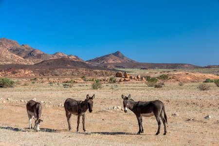 donkey grazing in the vast and desolate desert landscape in Brandberg mountain, Namibia.