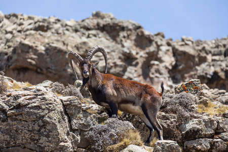 male with horn of rare endemic Walia ibex, Capra walia, Only about 500 individuals survived in Simien Mountains in Northern Ethiopia, Africa Foto de archivo