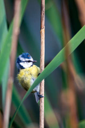 common bird Eurasian blue tit, Cyanistes caeruleus, in the nature on spring, perched on reed. Czech Republic wildlife
