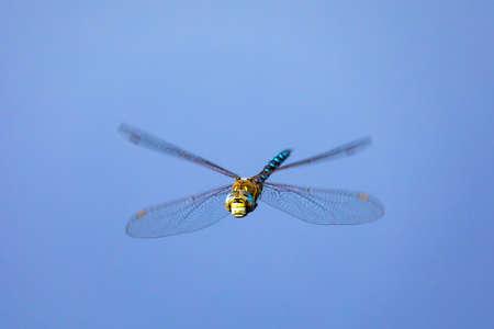 flying dragonfly, Aeshna cyanea, insect on spring pond. Europe, Czech republic wildlife 版權商用圖片