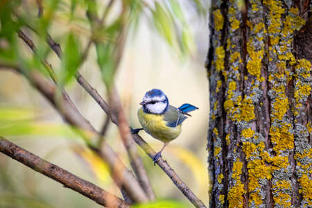 common bird Eurasian blue tit, Cyanistes caeruleus, in the nature on spring, perched on tree. Czech Republic wildlife
